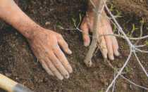 Когда лучше пересаживать грушу весной или осенью