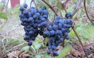 Виноград первенец амура характерные особенности сорта