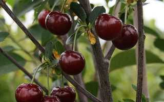 Характеристики вишни молодежная