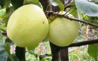 Выращивание яблони народное