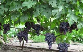 Черный виноград сорта фото описание