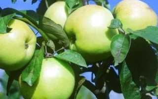 Описание сорта яблонь россиянка характеристики зимостойкости и урожайность