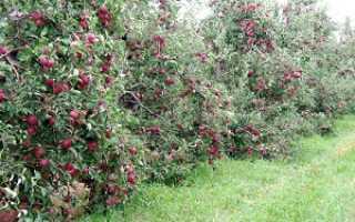 Карликовые яблони как садить и ухаживать
