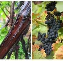 Как бороться со щитовкой на винограде борьба с вредителями