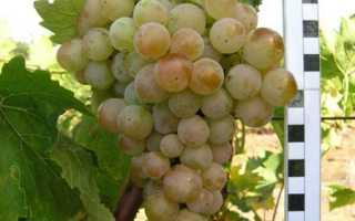 Какой мускатный сорт столового винограда самый лучший