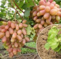 Когда сажать виноград в открытый грунт
