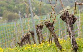 Как и чем обрабатывать виноград весной от вредителей и болезней