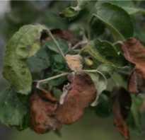 Бурые пятна на листьях яблони