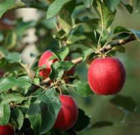 Выращивание яблони моди