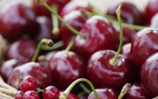 Особенности сорта вишни жуковская