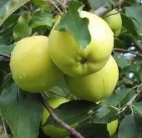 Сортовые особенности яблони славянка