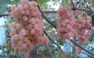 Где растёт сорт винограда тайфи и его описание