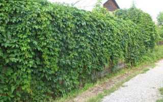 Дикий виноград на заборе как правильно сажать