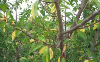 Причины пожелтения листьев у сливы летом