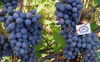Виноград агат донской все этапы выращивания