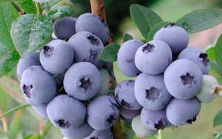 Выращивание груши талгарская красавица