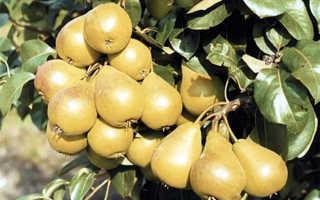 Сорт груши лада описание характеристика и отзывы особенности выращивания