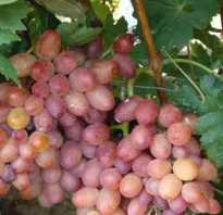 Ботаническое описание винограда калина
