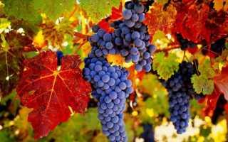 Как правильно организовать вызревание лозы винограда