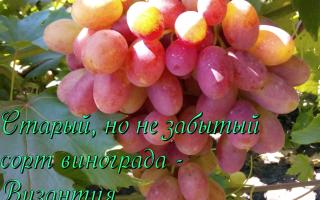 О сорте винограда византия