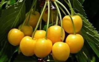 Как выращивать черешню орловская янтарная для хорошего урожая