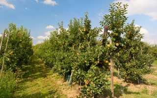 Карликовые яблони для подмосковья сорта отзывы лучшие низкорослые