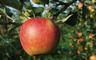 Сорт яблони марина