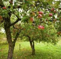 Можно ли сажать черешню рядом с яблоней