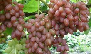 Лучшие сорта винограда без косточек кишмиш