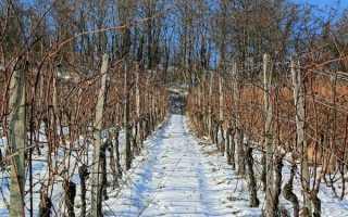 В чем особенность неукрывного винограда