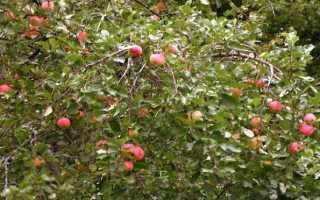 Финские сорта яблонь для северо запада