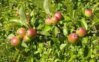 Выращивание яблони лесная