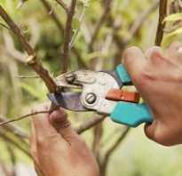 В какое время можно обрезать яблони