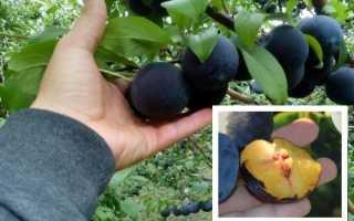 Выращивание сливы анжелина