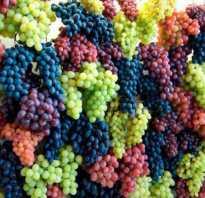Польза винограда для организма и стула