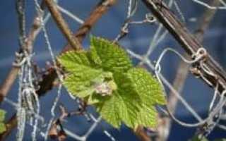Особенности ухода за виноградом весной