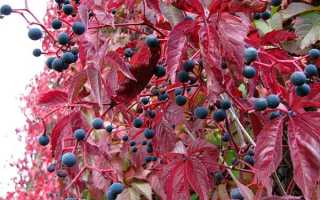 Девичий виноград плющ