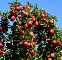 Как правильно обрезать молодые яблони