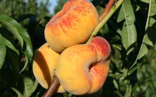 Персики уход за деревьями осенью