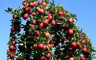 Как правильно формировать яблоню