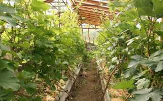 Выращивание винограда в теплице из поликарбоната как посадить видео
