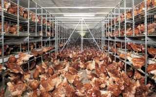 Кучинская птицефабрика продажа кур несушек цена рекомендации к выбору