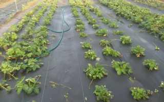 Посадка клубники под агроволокно осенью