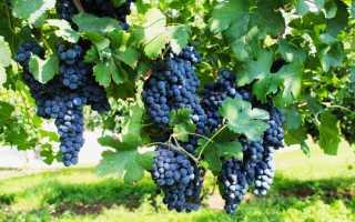 Характеристики винограда пино нуар