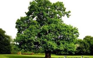 Карагач дерево описание