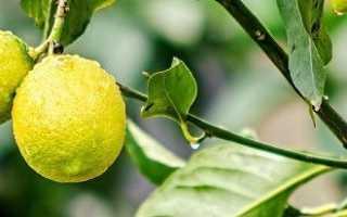 Почему лимонное дерево неожиданно сбросило листья