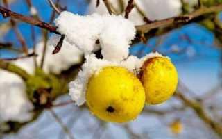 Как укрыть яблоню на зиму в сибири