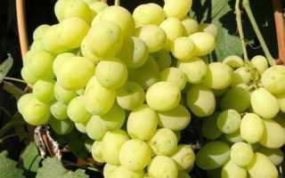 Виноград лора особенности посадки и ухода