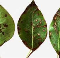 Болезнь парша на яблонях и грушах методы борьбы