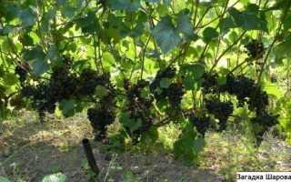 Виноградные сорта шарова загадка и подарок